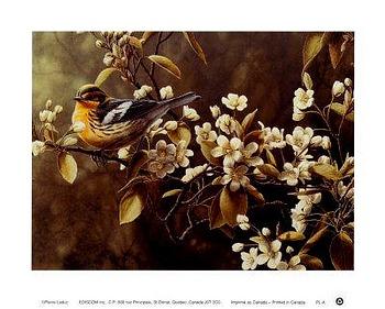 Pierre Leduc art print 'Blackburnian Warbler'